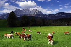 Cows grazing in front of the Wilder Kaiser Mountainsin a sunny autumn day. The Kaiser Mountains or just Kaiser, are a mountain range in the Northern Limestone royalty free stock image