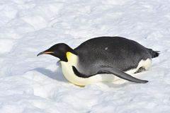 Kaiser-Pinguin Stockfotos