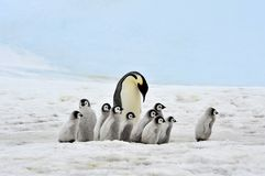 Kaiser-Pinguin Lizenzfreie Stockbilder