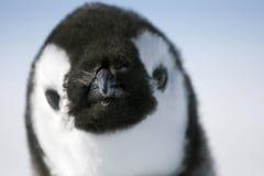 Kaiser-Pinguin (Aptenodytes forsteri) Stockfoto