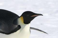 Kaiser-Pinguin (Aptenodytes forsteri) Lizenzfreie Stockfotografie