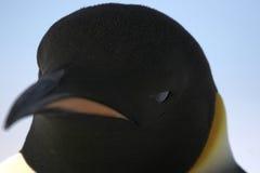 Kaiser-Pinguin (Aptenodytes forsteri) Lizenzfreie Stockbilder