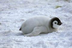Kaiser-Pinguin (Aptenodytes forsteri) Stockbilder