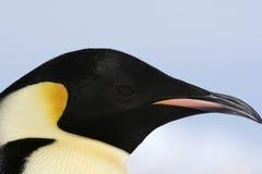 Kaiser-Pinguin (Aptenodytes forsteri) Stockfotografie