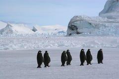 Kaiser-Pinguine lizenzfreie stockbilder