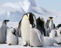 Kaiser-Pinguine (Aptenodytes forsteri) Lizenzfreie Stockfotografie