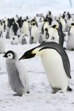 Kaiser-Pinguine (Aptenodytes forsteri) Lizenzfreies Stockbild