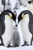 Kaiser-Pinguine (Aptenodytes forsteri) Stockfotos