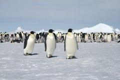 Kaiser-Pinguine (Aptenodytes forsteri) Stockbild