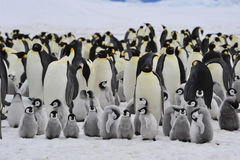 Kaiser-Pinguine mit Küken Stockfotos