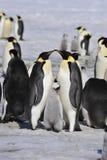 Kaiser-Pinguine mit Küken stockfoto