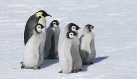 Kaiser-Pinguinfamilie Lizenzfreies Stockfoto