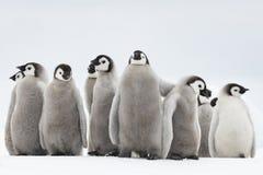 Kaiser-Pinguinküken auf Eis stockfoto