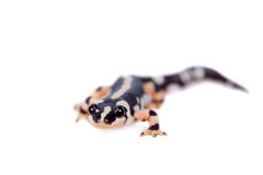 Kaiser's spotted newt isolated on white Royalty Free Stock Photo