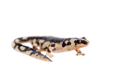 Kaiser's spotted newt  on white Royalty Free Stock Images