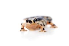 Kaiser's spotted newt  on white Stock Images