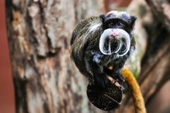 Kaiser Tamarin-Affe, der heraus seine Zunge haftet Lizenzfreie Stockfotos