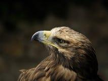 Kaiseradler (Aquila heliaca) Stockfotografie