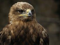 Kaiseradler (Aquila heliaca) Lizenzfreies Stockbild