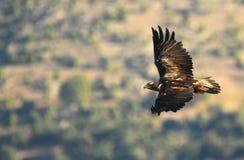 Kaiseradler vorbei fliegt sein Gebiet Stockfotografie