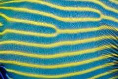 Kaiserangelfish-Haut-Muster Lizenzfreies Stockbild