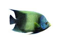 Kaiserfisch Stock Image