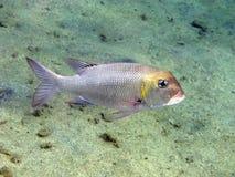 Kaiserfische Lizenzfreies Stockbild