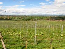 Kaiserstuhl地区的葡萄园 库存图片