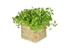 新鲜的萝卜新芽或Kaiware在竹篮子的Daikon在白色 免版税库存照片