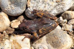 Kajika frog Stock Photo