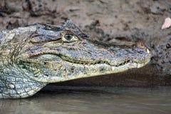 Kajman i Costa Rica Huvudet av en closeup för krokodil (alligator) Royaltyfria Foton