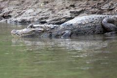 Kajman i Costa Rica Huvudet av en krokodil Fotografering för Bildbyråer