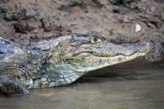 Kajman i Costa Rica Huvudet av en krokodil (alligatorn) Arkivbilder