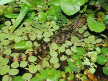 Kajman i den Tortuguero nationalparken, Costa Rica Royaltyfri Bild