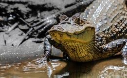 Kajman på den Cano neger, Costa Rica Royaltyfri Bild