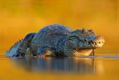 Kajman Yacare kajman, krokodil i flodyttersidan, gul sol för afton, Pantanal, Brasilien arkivbilder