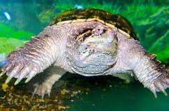 Kajmansköldpadda Arkivfoton