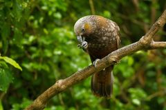 Kaka -内斯特meridionalis -居住在新的Zealan森林的地方性长尾小鹦鹉  免版税库存照片