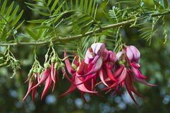 Kaka beak flowers 2 Royalty Free Stock Photography