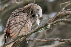 Kaka bird perches on branch with feather in beak Royalty Free Stock Photography