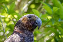 Kaka Brown Parrot Face And Eyes. The New Zealand Kaka is a rare and endangered brown parrot with a playful and some times mischievous attitude stock images