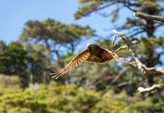 Kaka Brown Parrot Flying In Sun With Feathers Showing. The New Zealand Kaka is a rare and endangered brown parrot with a playful and some times mischievous royalty free stock image
