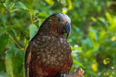 Kaka Brown Parrot. The New Zealand Kaka is a rare and endangered brown parrot with a playful and some times mischievous attitude stock photos