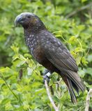 Kaka, Nestor meridionalis septentrionalis stock photo
