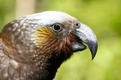 Kaka papegoja i den Nya Zeeland skogen arkivfoton
