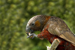 Kaka parrot. The olive green Kaka Parrot found in New Zealand stock images