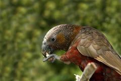 Kaka parrot Stock Images