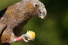 Kaka parrot eating corn. A brown Kaka (Nestor meridionalis septentriona), a native New Zealand parrot, feeding on a corn cob against a blurred green background stock images