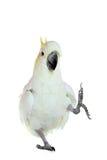 kakadu Obrazy Royalty Free