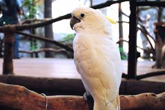 Kakadu Obrazy Stock